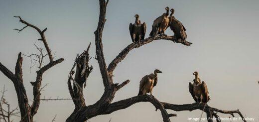 vautours